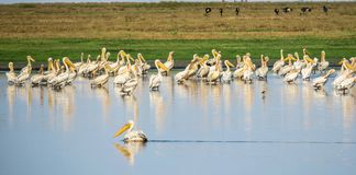 A flock of Great white pelicans pelecanus onocrotalus. A flock of great white pelicans. In the background are grey crowned cranes. Location Liuwa Plain National royalty free stock image