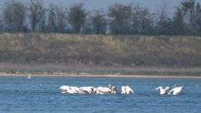 Flock of Great White Pelicans Pelecanus onocrotalus in the lake stock video