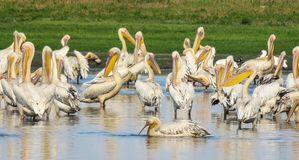 A flock of Great white pelicans pelecanus onocrotalus at a waterhole. A flock of great white pelicans at a waterhole. Location Liuwa Plain National Park, Zambia royalty free stock image