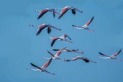 A flock of Greater flamingo birds Stock Images