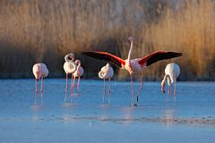 Flock of Greater Flamingo, Phoenicopterus ruber, nice pink big bird, dancing in the water, animal in the nature habitat. Blue sky. Camargue, France Royalty Free Stock Photography