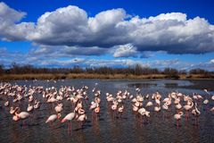 Flock of Greater Flamingo, Phoenicopterus ruber, nice pink big bird, dancing in the water, animal in the nature habitat. Blue sky Royalty Free Stock Photo