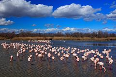 Flock of Greater Flamingo, Phoenicopterus ruber, nice pink big bird, dancing in the water, animal in the nature habitat. Blue sky stock images
