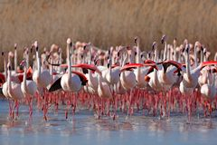 Flock of  Greater Flamingo, Phoenicopterus ruber, Nice pink big bird, dancing in the water, animal in the nature habitat, Camargue Stock Photography