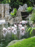 Flock of Greater Flamingo's Stock Photography