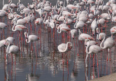 Flock of Greater Flamingo Royalty Free Stock Photos