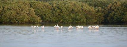 Flock of greater Flamingos Stock Photos