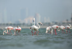A flock of Greater Flamingos Royalty Free Stock Photography