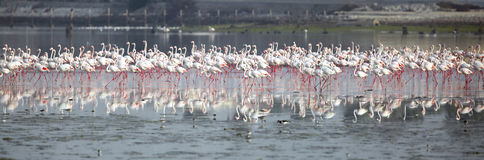 Flock of greater Flamingos in Eker creek Bahrain Royalty Free Stock Photography