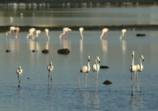 Flock of Greater Flamingos Stock Image