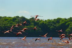 Flock of greater flamingos Stock Photos