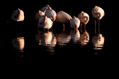A flock of greater flamingos and its reflection. A flock of greater flamingos ....resting/ sleeping in the water of the lagoon. beautiful reflection stock images