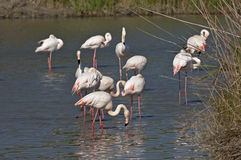 A flock of Greater Flamingos Stock Images