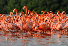 Flock of greater flamingos Royalty Free Stock Photos