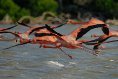 Flock of greater flamingos Royalty Free Stock Images