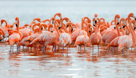Flock of greater flamingos Royalty Free Stock Image