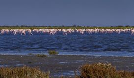 Flock of greater flamingos, phoenicopterus roseus Royalty Free Stock Photos