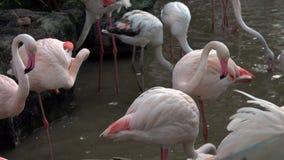 Flock of Greater Flamingos Phoenicopterus ruber stock video