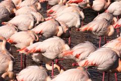 A flock of greater flamingos resting. Above water surface stock images