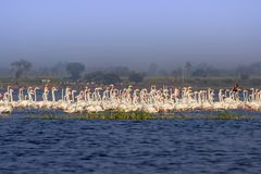 Flock of Greater Flamingos royalty free stock photography