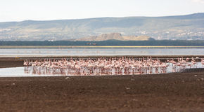 Flock of greater  pink flamingos Royalty Free Stock Images