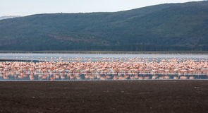 Flock of greater  pink flamingos Stock Photo