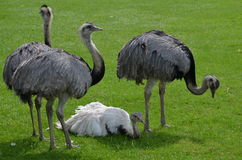 Flock of The Greater Rhea (Rhea americana) Stock Images