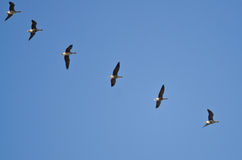 Flock of Greater White-Fronted Geese Flying in a Blue Sky Stock Photography