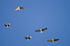 Flock of Greater White-Fronted Geese Flying in a Blue Sky Stock Image