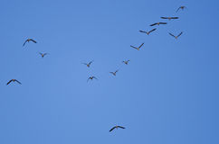 Flock of Greater White-Fronted Geese Flying in a Blue Sky Stock Images