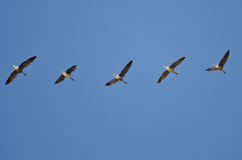 Flock of Greater White-Fronted Geese Flying in a Blue Sky Royalty Free Stock Image