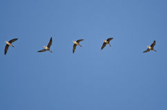 Flock of Greater White-Fronted Geese Flying in a Blue Sky Stock Photos