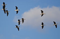 Flock of Greater White-Fronted Geese Flying in a Cloudy Sky Royalty Free Stock Images