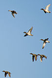 Flock of Green-Winged Teals Stock Photography