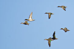 Flock of Green-Winged Teals. Flying in a Blue Sky Royalty Free Stock Photography