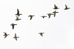 Green-Winged Teals Flying on a White Background Royalty Free Stock Image