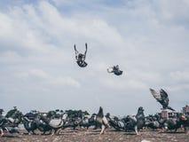 Flock of grey dove. Royalty Free Stock Photos