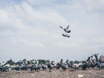 Flock of grey dove. Royalty Free Stock Photo