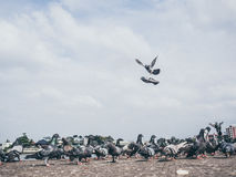 Flock of grey dove. Stock Images