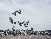 Flock of grey dove. Royalty Free Stock Image