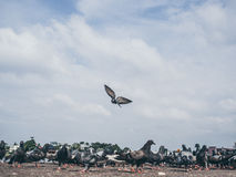Flock of grey dove. Royalty Free Stock Photography