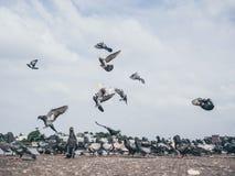 Flock of grey dove. Stock Photography