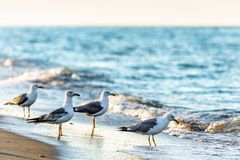 Flock of grey seagulls on sandy beach shoreline at Black Sea coast drinking sea water of splashing waves. Scenic seascape with sea royalty free stock photography