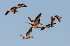 Flock of Greylag Geese. At the Tablas de Daimiel national park in central Spain, a small flock of Greylag Geese (Anser anser) passes by in their characteristic Stock Images