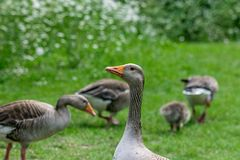 Flock of greylag geese anser anser and young goslings stock photo