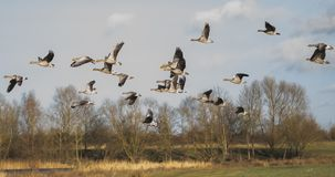 Flock of Greylag Geese seen arriving at an out of view lake seen at a nature reserve. stock photo