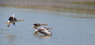 A flock of Greylag Geese taking off Royalty Free Stock Photo