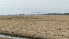 Flock of Greylag goose flying in springtime on the sky to rest on meadow. Havelland in Germany.  stock video