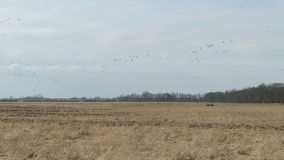 Flock of Greylag goose flying in springtime on the sky to rest on meadow. Havelland in Germany.  stock video footage