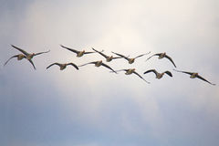Flock of Greylag Goose. Greylag geese in flight over lagoon Stock Photos